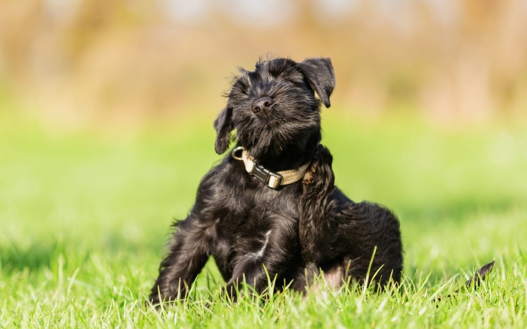 3 Types of Allergies Affecting our Pets